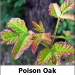 Poison Oak from everystockphoto by jessicafm